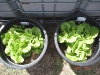 wk4_lettuce_L_with_polymer_R_without_polymer
